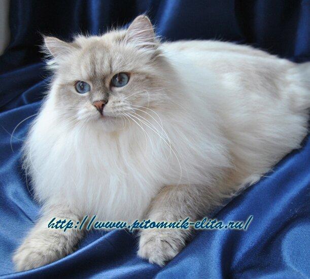 Невская маскарадная кошка лейла