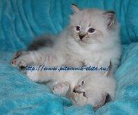 Невские маскарадные котята декабрь